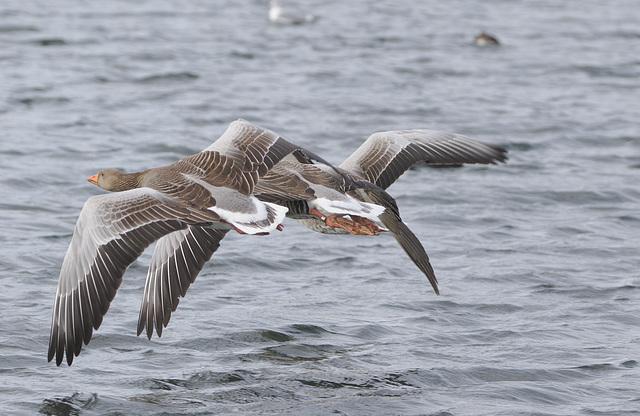 Greylag geese EF7A9787