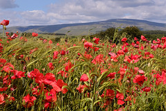Poppies in Cumbrian Barley field