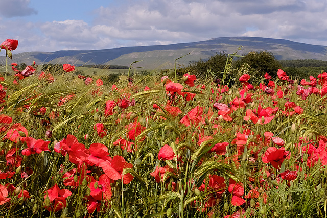 Poppies in Cumbrian Barley field