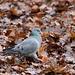 Stock dove (3)