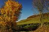 Goldener Ahorn - Golden Maple