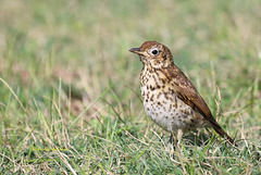 Grive musicienne - Turdus philomelos - Song Thrush