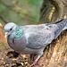 Stock dove (4)