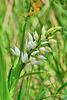 P1370655- Céphalanthère à longues feuilles (Cephalanthera longifolia) - Nébias, sentier nature.  05 mai 2021