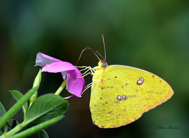 ~ Yellow Butterfly ~
