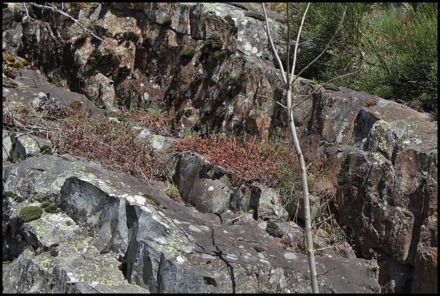 Sedum rupestre sur dalle basaltique