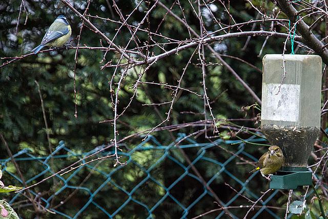 20141228 6153VRAW [D~RI] Blaumeise (Cyanistes caeruleus); Grünfink [w] (Carduelis chloris), Rinteln