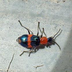 Dicrananolaius  bellulus (Red and Blue Beetle)