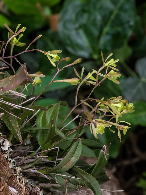Epidendrum magnoliae (Green-fly orchid)