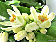 Tangelo Flowers