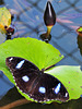 The Great Eggfly Butterfly