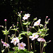 The anemones standing up tall