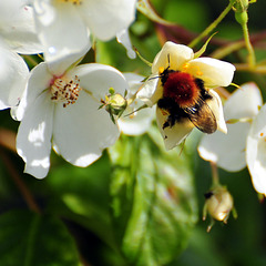Climbing Rose with Bee