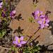 Centaurium erythraea, Gentianaleae