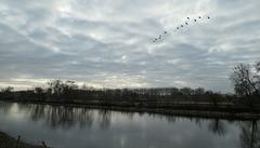Vol de cormorans au  dessus de la Loire