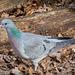 Stock dove.