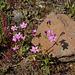 Centaurium erythraea L1000848