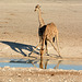 Namibia, Giraffes at the Watering Hole in Etosha National Park
