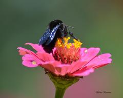 Bumble-bee ◜❀◝ ✿◞❃ ◟