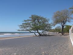 Arbres de plage / Arboles en la playa