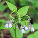 Tall Lungwort / Languid Ladies / Dangling Damsels