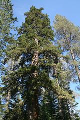 Another big juniper