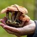 Picked for demonstration purposes - Honey Mushrooms?