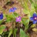 Anagallis arvensis, Spergularia purpurea