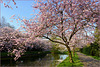 Spring is Coming with Pink Flowering Cherry Trees...