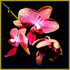 Phalaenopsis 03