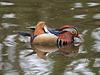 Canard mandarin = Aix galericulata, Parc zoologique de Saint-Martin-la-Plaine (France