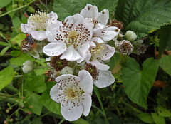The Blackberry flower with visitors.