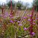 Spergularia purpurea, Rumex bucephalophorus