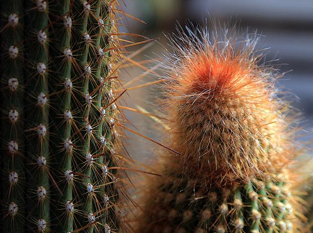 Cactus à poil ( interdit aux moins de 5 ans )