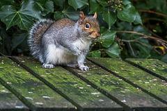 A squirrel at Thurstaston country park