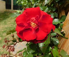 La première rose chez mon fils*****************