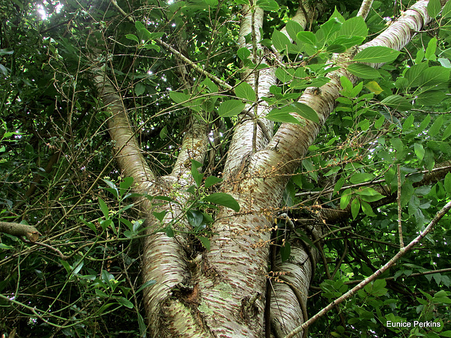 Trunk And Leaves.