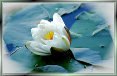 White Water lily. ©UdoSm