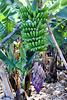 Hier ein Fruchtstand (Büschel) einer Banane mit Resten der Blüte. ©UdoSm