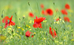 Poppies in the Field...