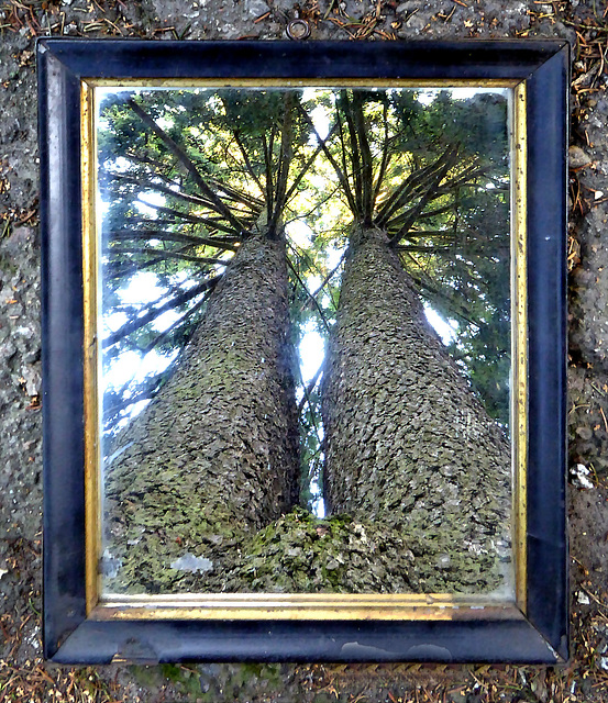 Portrait of conjoined spruces