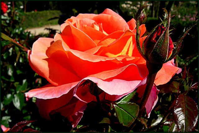 Rose garden, El Retiro, Madrid