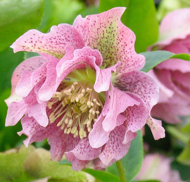 Hellebore double queen