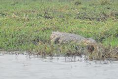 Maljuna krokodilo. Ĉobe Nacia Parko