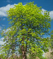 1 (42)...austria tree...baum spring