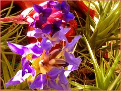 Tillandsia aerantos :  la pianta dell'aria - (910)