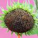 Sunflower, against a pink barn