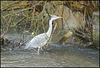 grey heron in the weir