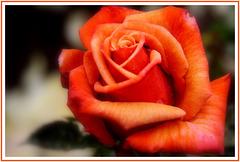Rose de concours