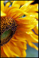 Raindrops on Sunflower
